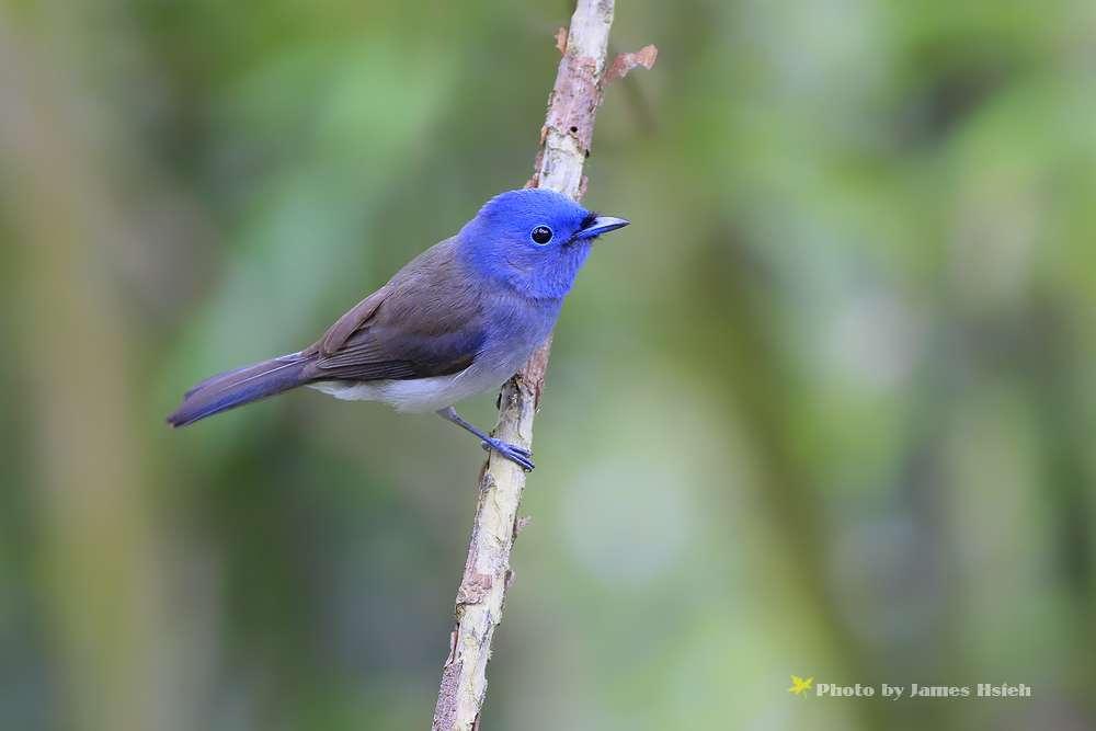 黑枕藍鶲...母鳥 @ 波紋鯉的鳥視界 :: 隨意窩 Xuite日誌