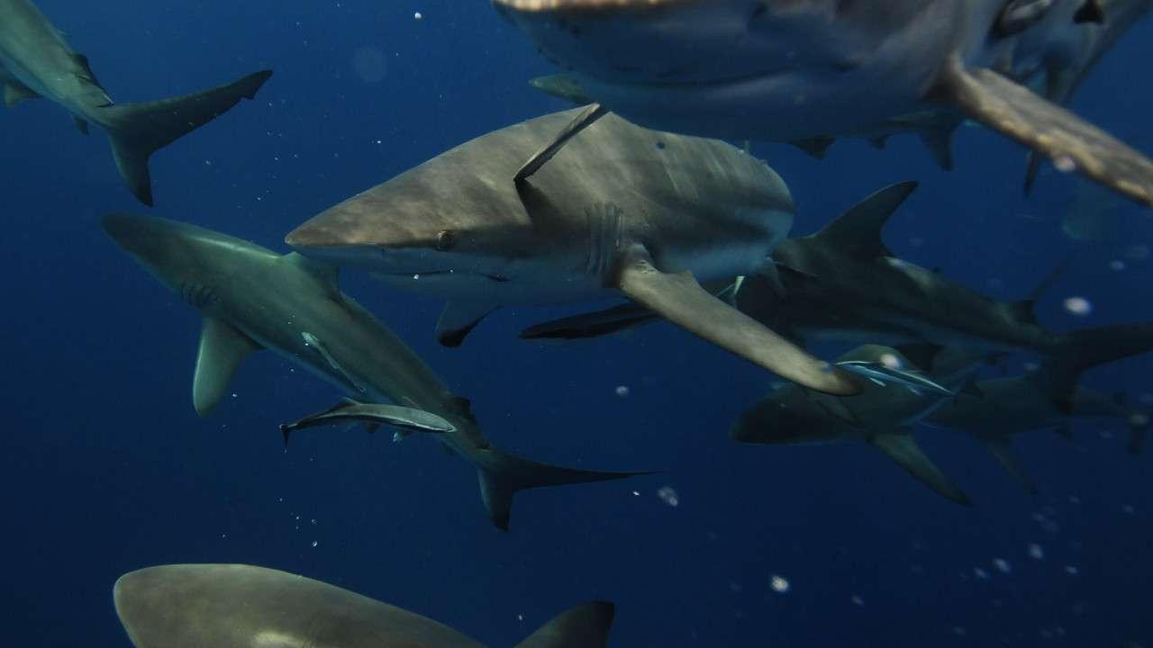 Köpek Balığı Çeteleri Türkçe Dublaj